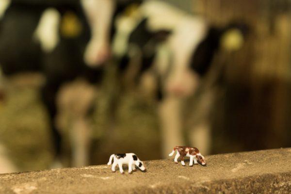Holstein-Frisian Zwartbont en Roodbont