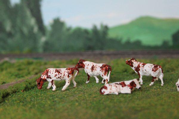 Dairy Shorthorn